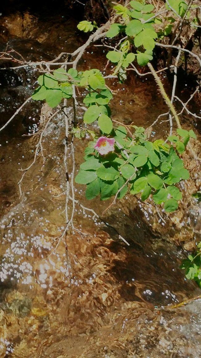 Helen Hunt Falls Colorado Mountians Pink Flower