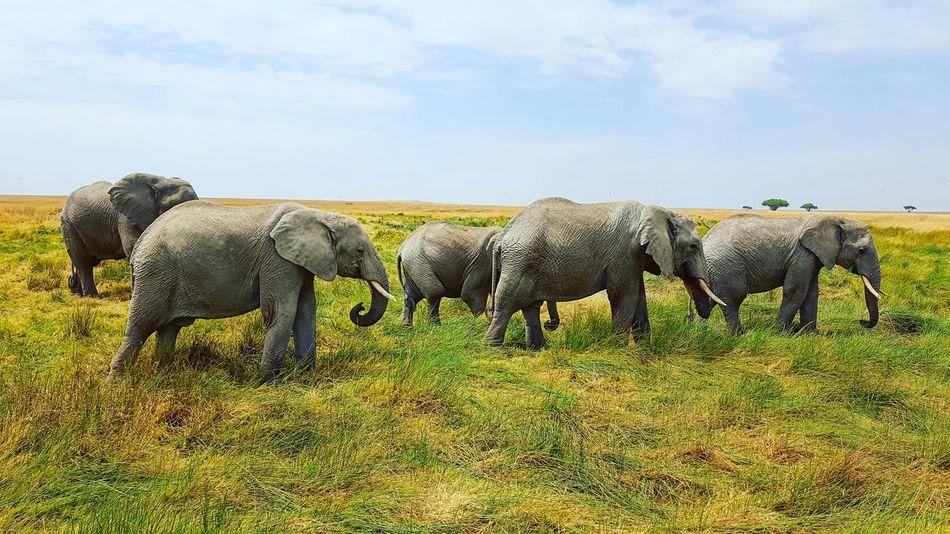 Elephant Landscape Tanzania Serengeti National Park