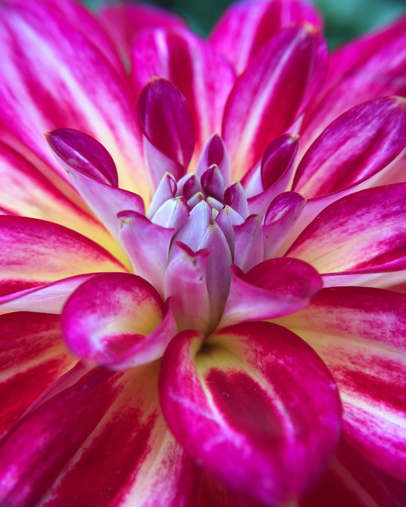 Closeup of dahlia flower shot with Inmacus HD Macro filter on Iphone6s IPhoneography Iphonephotography Macro Photography Inmacusgear Iphonegraphy Smartimaging Smartphonephotography Mobilephotography