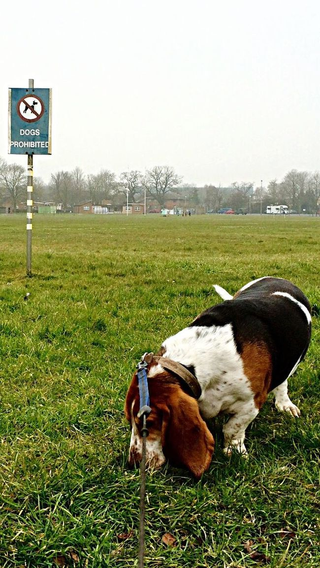 """Whatever, """"so sue me!!"""" Flouting The Rules Breaking The Rules Whatever Hanging Out Hello World Cheese! Enjoying Life Taking Photos My Point Of View Basset Hound Bassethound Dog DogLove my best pal Mr Boo Walking Around"""