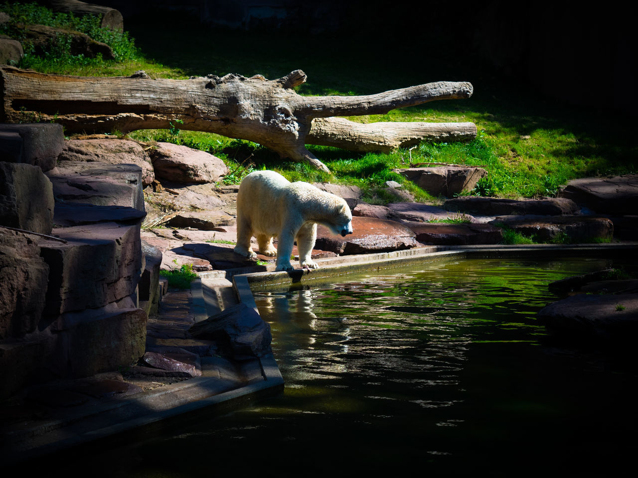 Animal Animal Themes Animals In The Wild Day Ice Bear Nature No People Non-urban Scene Outdoors Rock - Object Scenics Swimming Tranquility Water Waterfront Zoology
