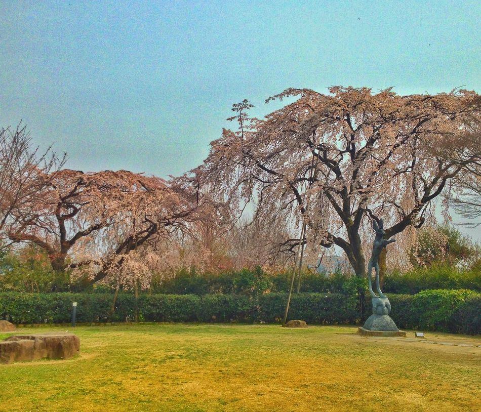 Cherry Blossoms Sakura Cherry Tree Spring Kyoto Japan Museum