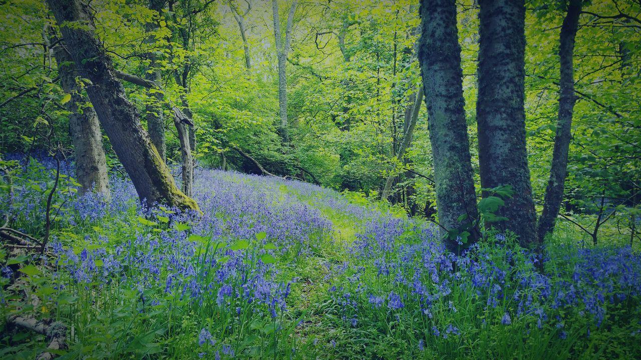 Forest Forestwalk Forest Path Walk Scotland Culloden Bluebells Bluebell Wood Bluebells. Wild [plant. Nature. Blue