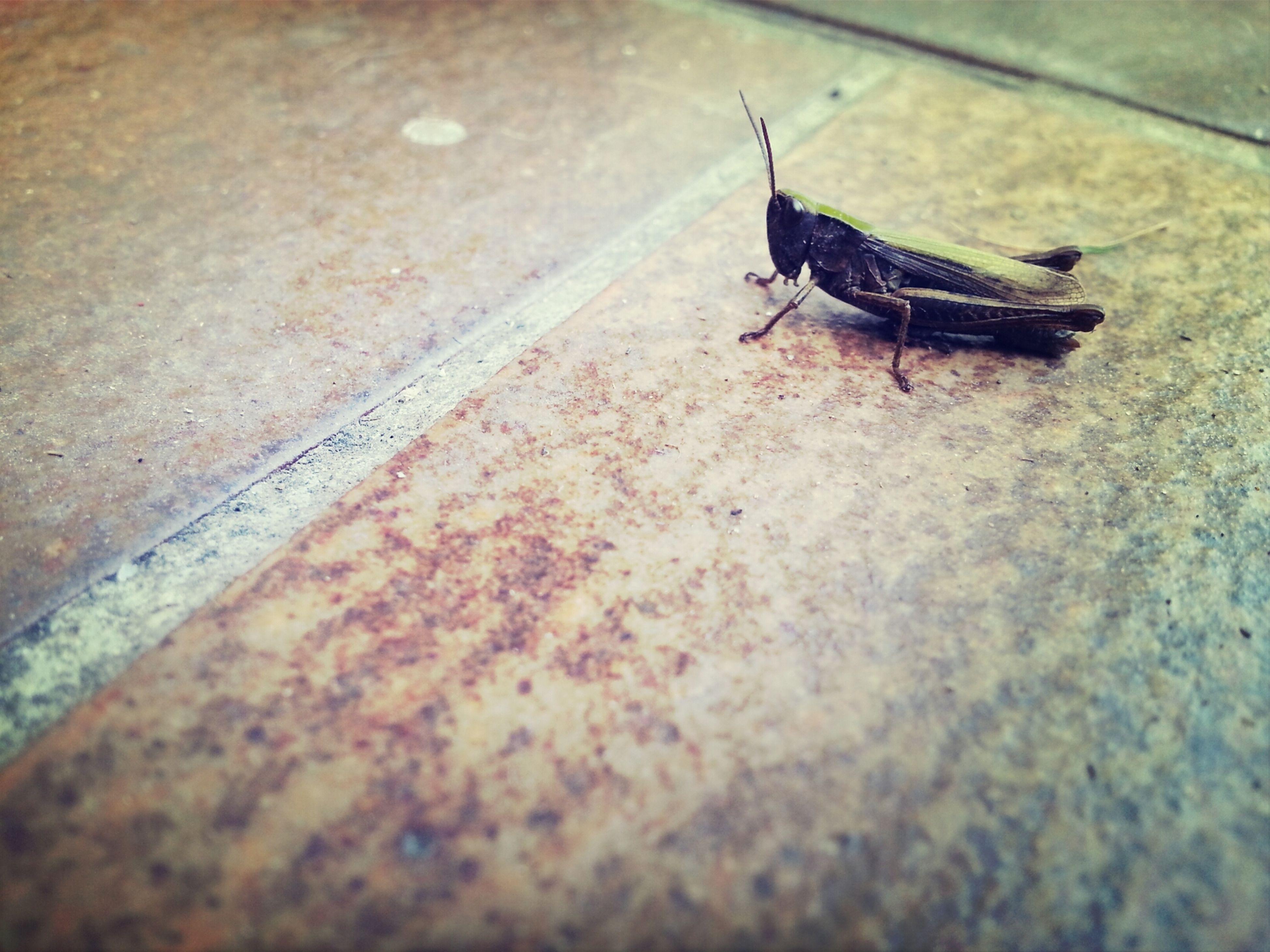 Grasshopper Photography Springpferd Kerlchen