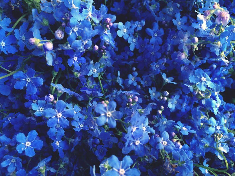 Forget Me Not Forget-me-not Cute Myosotis Blue Blue Wave Blue Color Fragility Precious Gentle Softness Kindness Shades Of Blue Nostalgia Nostalgic  Nostalgie Emotion Dreaming Remember Childhood Bliss Tenderness Sweet Feelings Heart