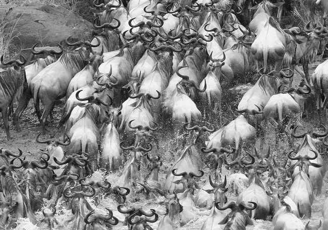 Animal Themes Animals In The Wild Herbivorous Herd Kenya Masai Mara Masai Mara National Park Monochrome Nature No People Outdoors Panic Splashing Swimming Tranquility Wildebeest Migration Wildlife & Nature Wildlife Photography Zoology