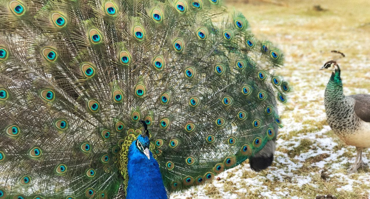 Pfau Peacock Bird One Animal Animal Themes Peacock Feather Feather  Fanned Out Animal Wildlife Animals In The Wild Outdoors No People Nature Day Beauty In Nature Close-up Peacock Blue Peacock Feathers Peacock Colors EyeEmNewHere Ruhrpott Wildpark Haltern Am See