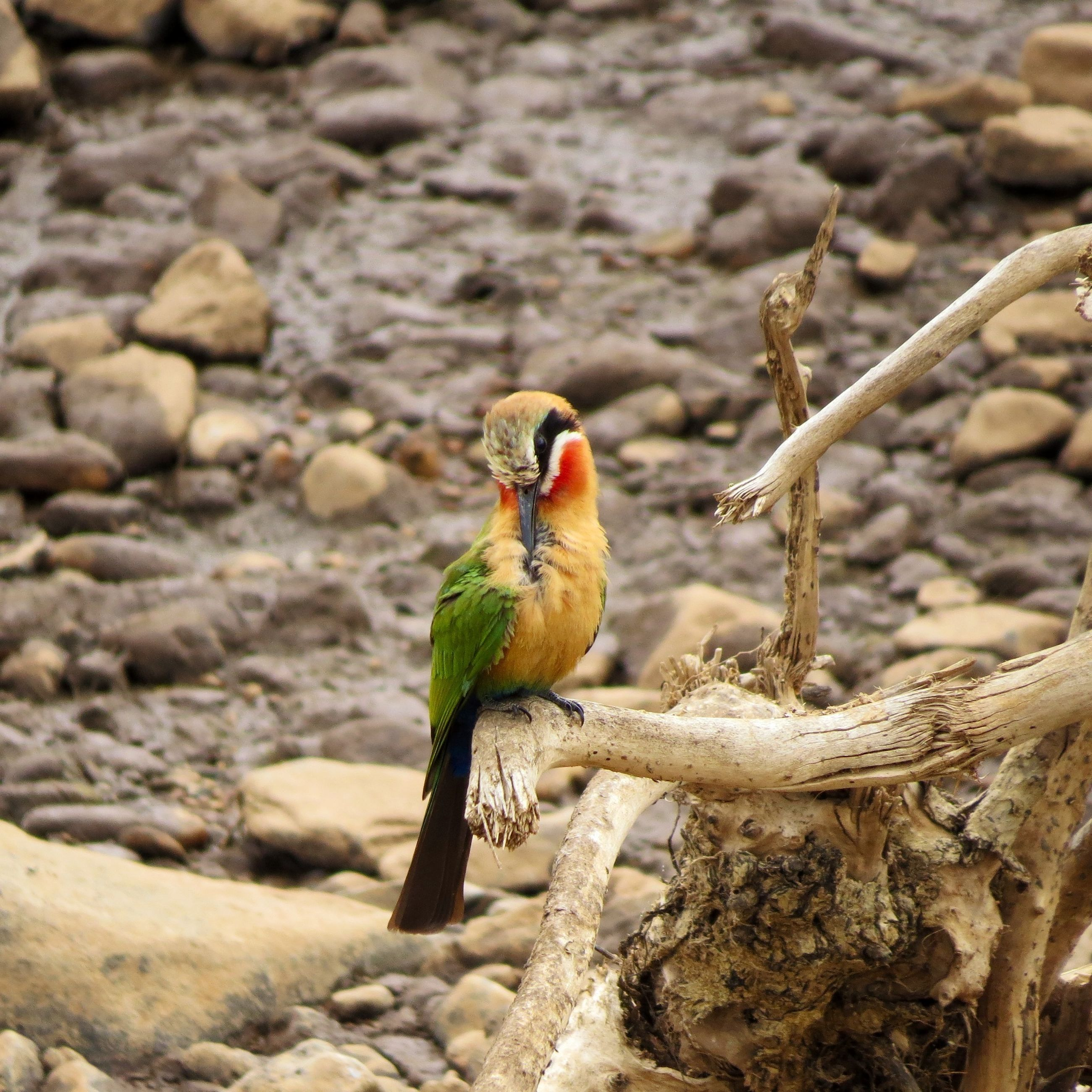 animal themes, bird, animals in the wild, one animal, wildlife, perching, focus on foreground, full length, nature, beak, close-up, outdoors, day, rock - object, looking away, branch, no people, zoology, selective focus, side view