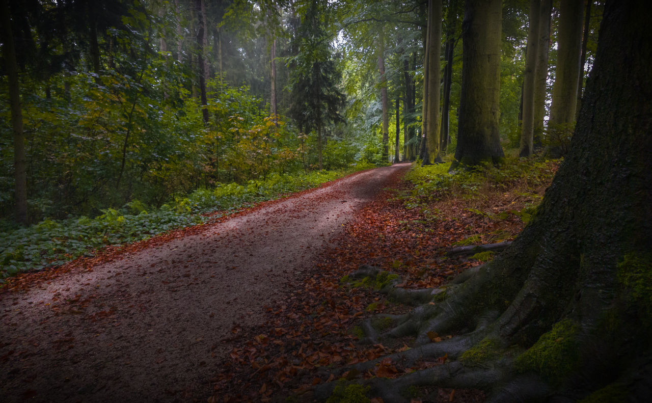 tree, nature, forest, tranquility, tranquil scene, no people, day, road, scenics, the way forward, outdoors, beauty in nature, tree trunk