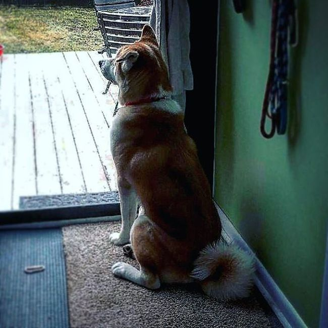 Waitingformom Hachiko Hachi Lovemydog JapaneseAkita Misshim Lookout