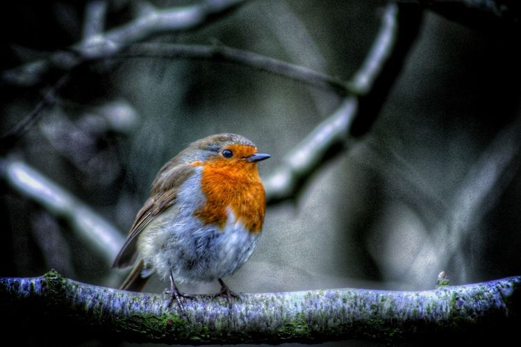 Natures Diversities Robin Our Best Pics Northern Ireland Birds Of EyeEm  Nature_perfection EyeEm Gallery EyeEm Nature Lover Nature At Its Best Animal Portrait Exceptional Photographs Fine Art Photography At One With Nature Robin Redbreast Robin Perched For A Pose The Culture Of The Holidays Christmas Nature On Your Doorstep Little Bird Winter Bird Christmas Robin Friendly Bird Natures Magic EyeEm Best Shots Birds The Week On EyeEm