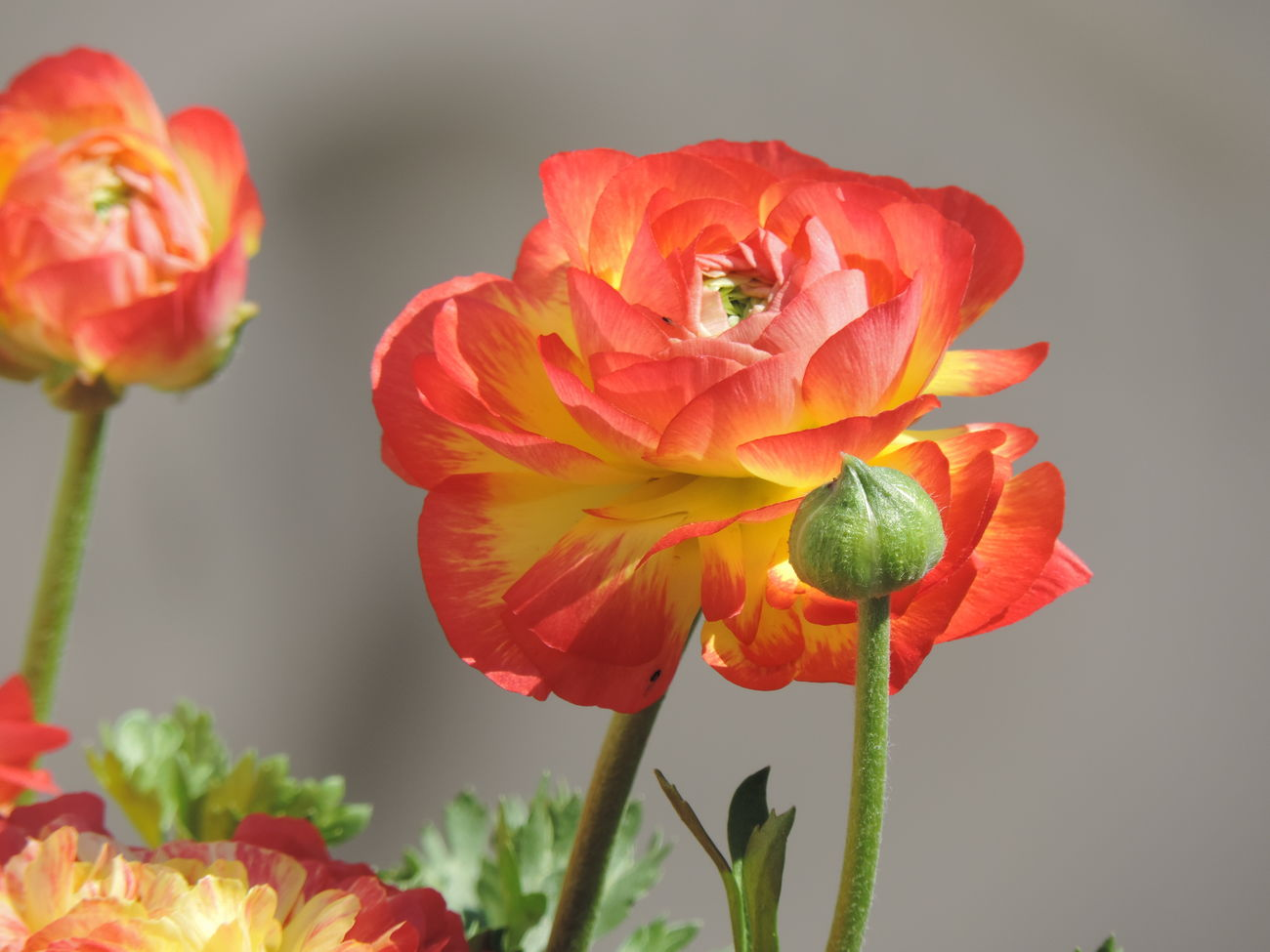 Beauty In Nature Close-up Day Flower Flower Head Fragility Freshness Growth Nature No People Orange Color Outdoors Petal Plant Poppy