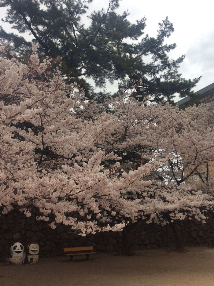 Tree Cherry Blossom Springtime Blossom Beauty In Nature