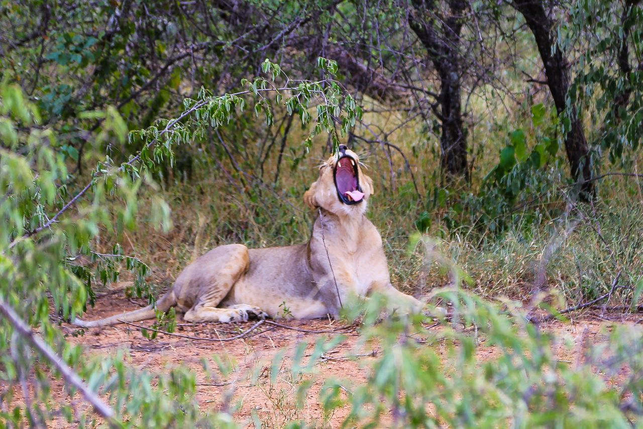 Animals In The Wild Animal Themes Relaxation No People Mammal Lioness Tree Animal Behavior Yawning Outdoors Lion - Feline Day Roam Roaming Open Mouth Scary Wildlife Wildlife & Nature Wilderness Wildlife Photography Animal Wildlife Animals In The Wild Animal_collection Lion Lions