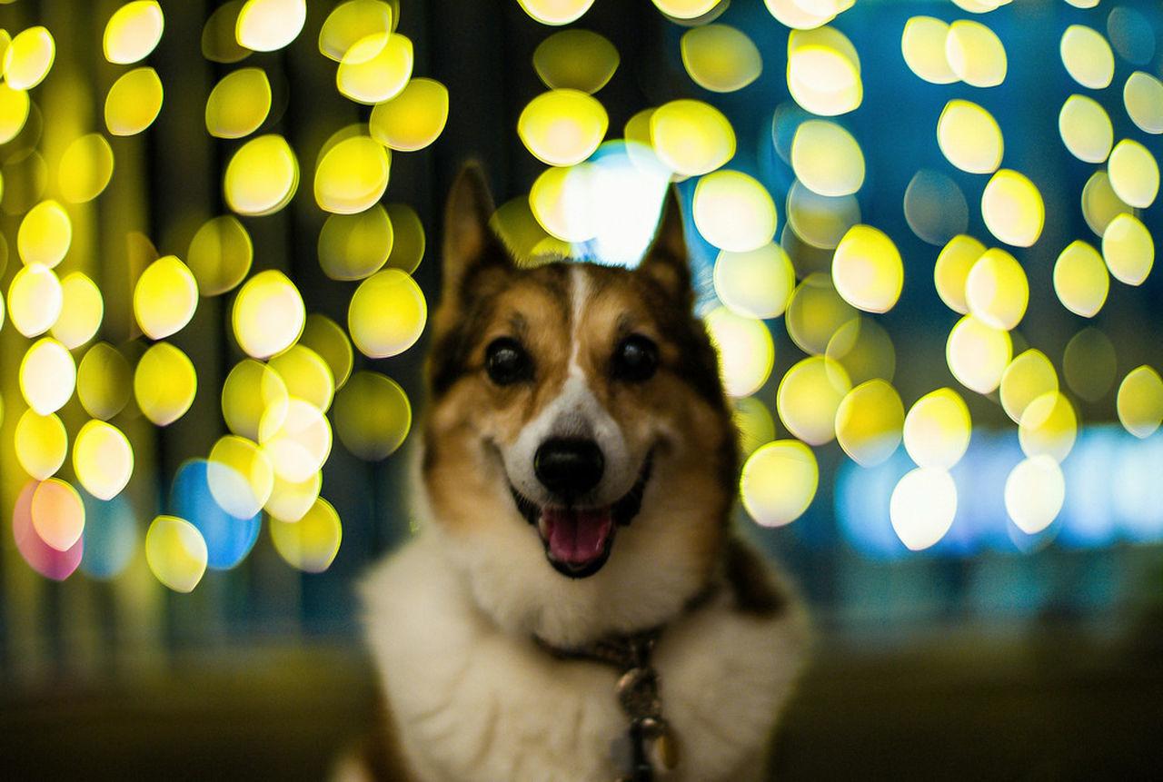 Dog I Love My Dog Corgi Pochiko LeicaM9 Noctilux