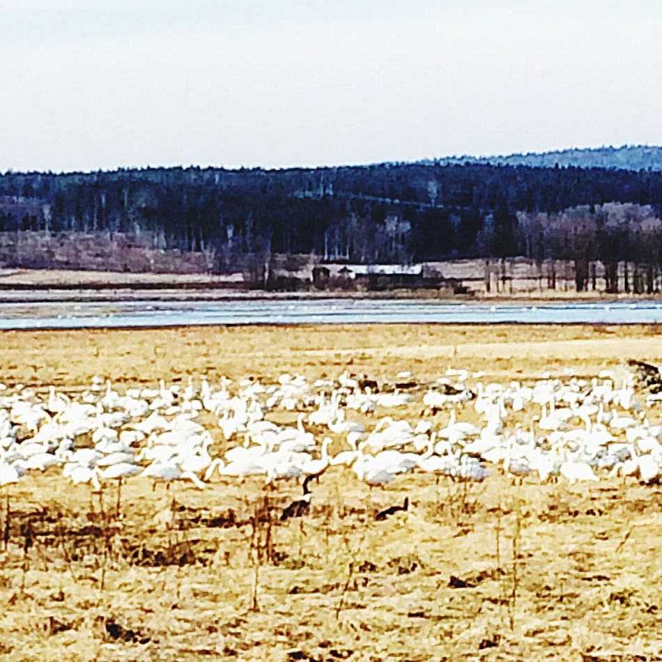 Taking Photos Spring Naturelovers Nature Nature Photography Whooper Swan Tysslingen Lake
