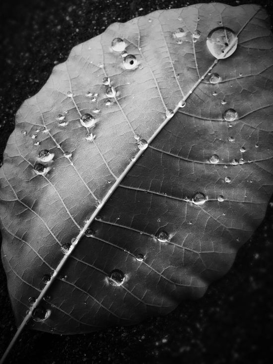 After The Rain Lonely Leaf Water Droplets Drops Hello Friends :) Love To Take Photos ❤ Water Black & White Natural Symmetry Gone with the wind, washed with the rain... Fine Art Photography
