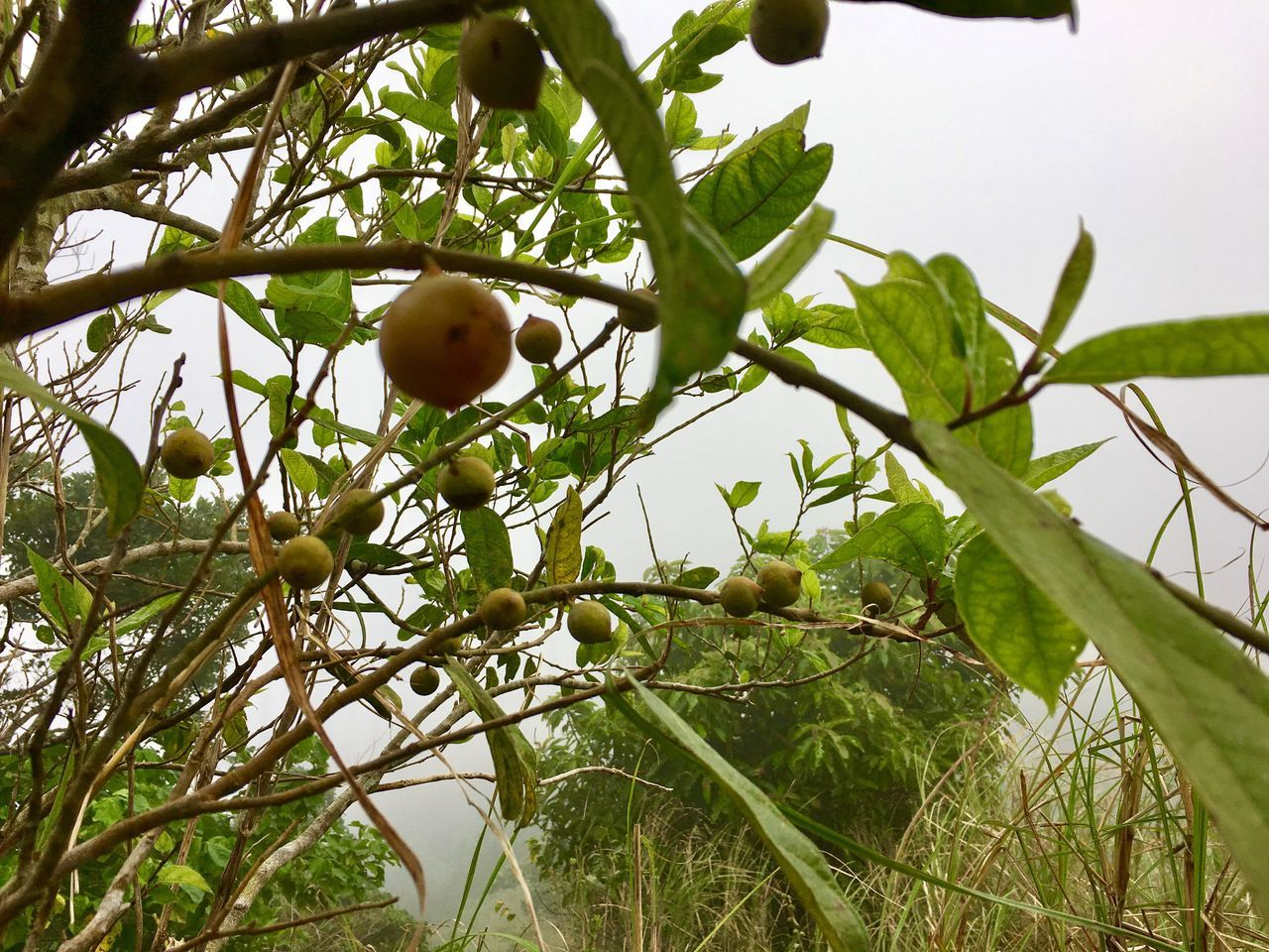 Fruit Tree Leaf Growth Food Freshness Branch Citrus Fruit Nature Food And Drink Low Angle View Fruit Tree Juicy Agriculture Plant Outdoors No People Close-up Day