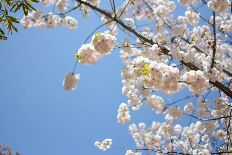 Beauty In Nature Blooming Blossom Blue Botany Branch Cherry Blossom Cherry Tree Close-up Eden Flower Flowers Garden Growth In Bloom Low Angle View Nature Petal Plant Sky Spring Springtime Springtime Blossoms Tree White Color