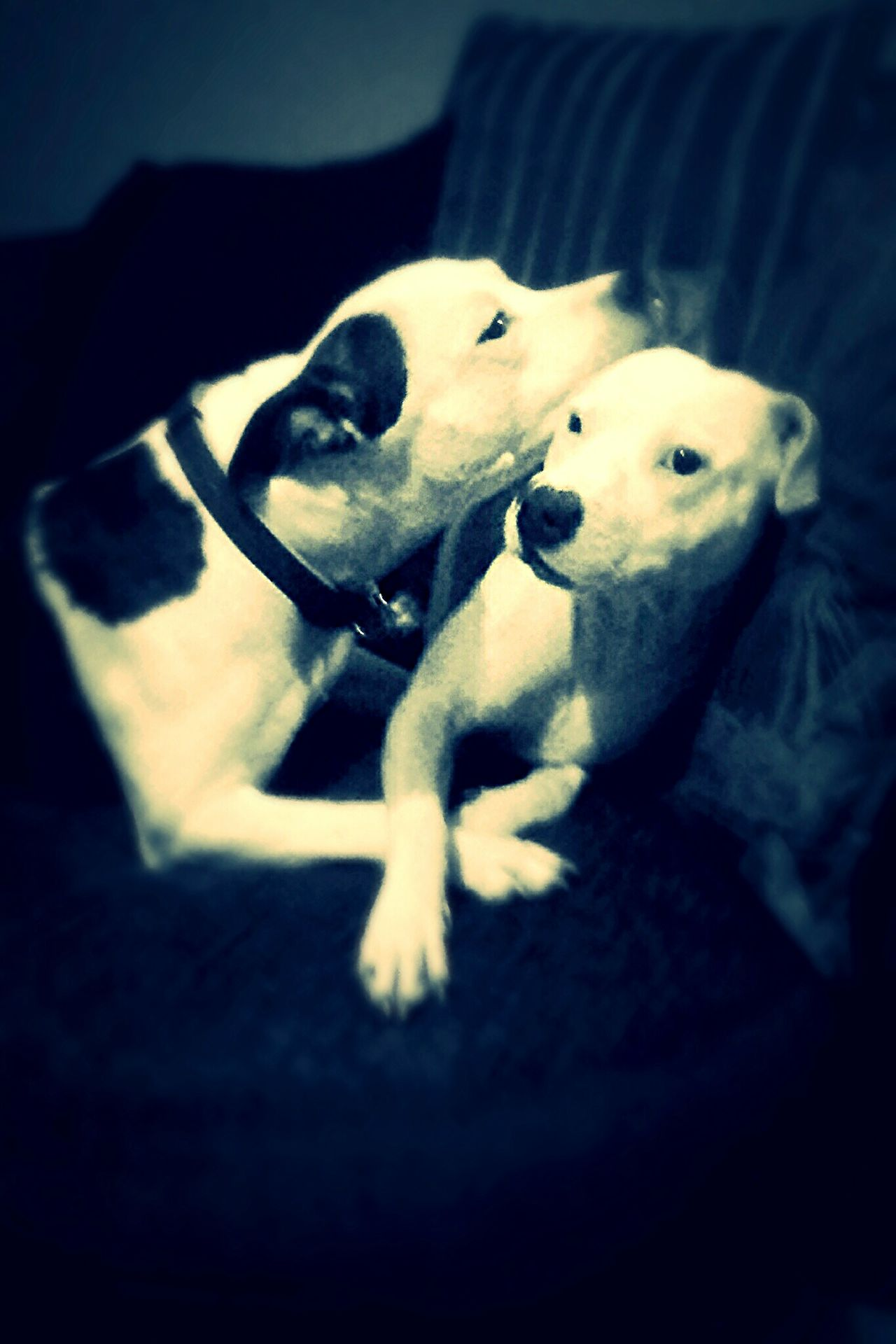 Father & Son Daddy And Son Staffy Staffylove Staffysofinstagram Staffyuk Staffyoftheday Staffygram Staffylovers Staffordshire Bull Terrier Dog Pets Domestic Animals Animal Themes One Animal Close-up Selective Focus Animal Head  Mammal Focus On Foreground No People Zoology Loyalty