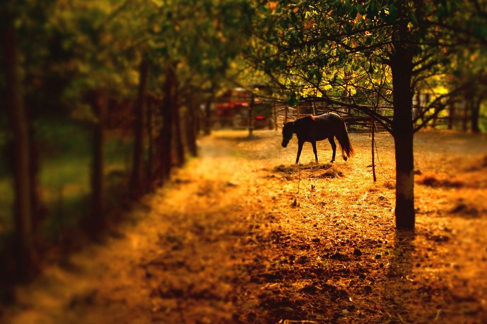 Domestic Animals Animal Mammal Walking Tree Animal Themes Nature Sunset One Animal Rural Scene Autumn Outdoors No People Full Length Landscape Grass Day Horse Silhouette Paint The Town Yellow The Week On EyeEm