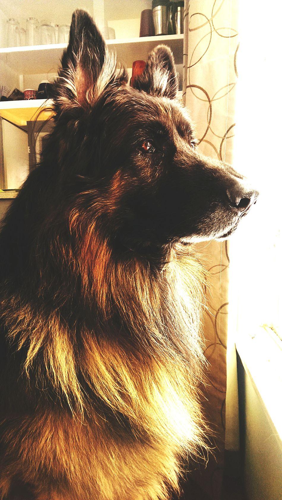 Pharaoh king shepherd KingOfKings Dog Keeping Watch Guard Dog Watchful Eyes Grandeur Fur Pets Gaze
