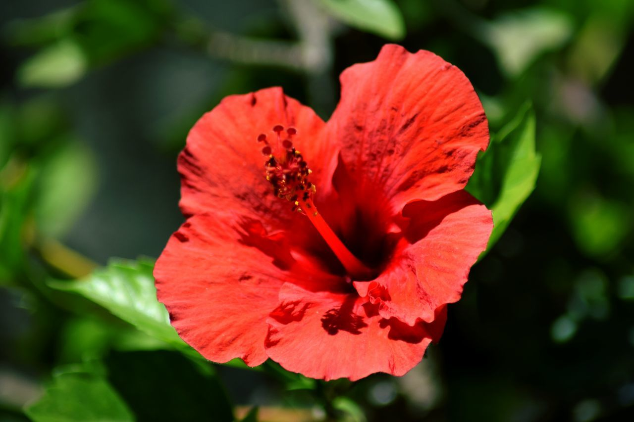 flower, petal, nature, red, beauty in nature, flower head, fragility, hibiscus, growth, plant, no people, poppy, freshness, blooming, close-up, outdoors, day