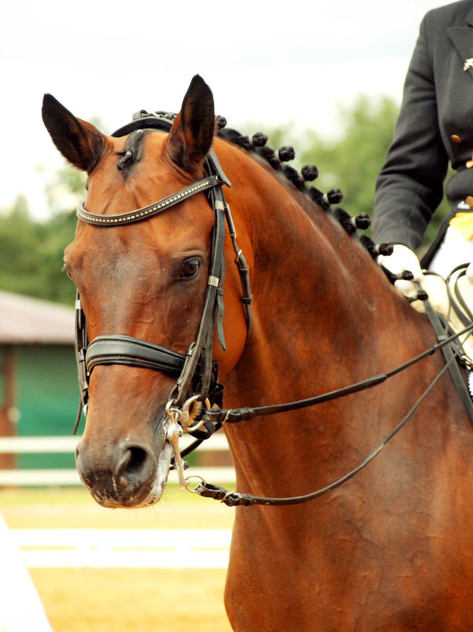 Bay Bridle Competition Horse Sportive