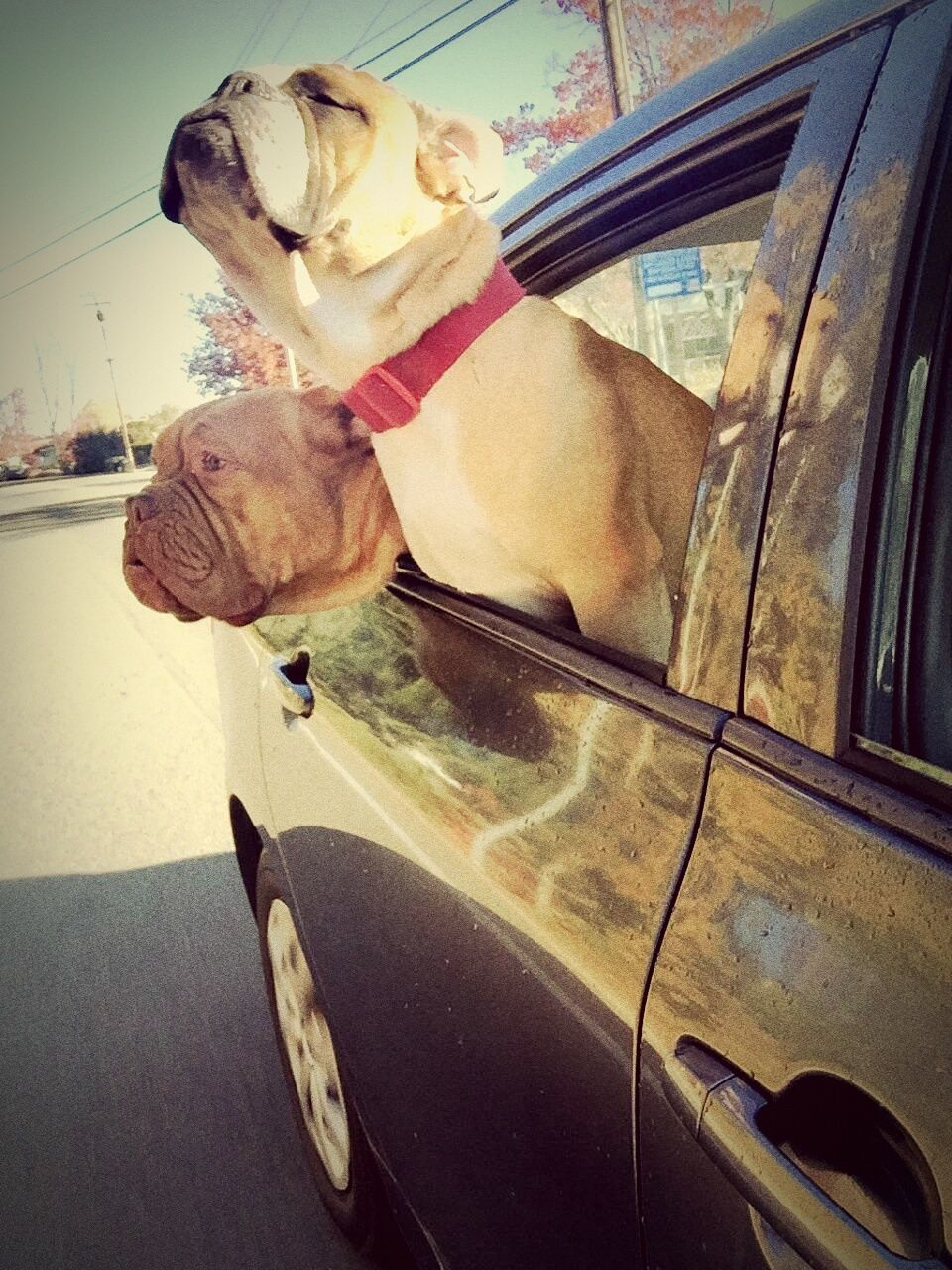 pets, domestic animals, dog, animal themes, one animal, mammal, car, window, land vehicle, transportation, pet collar, looking through window, no people, day, outdoors, close-up