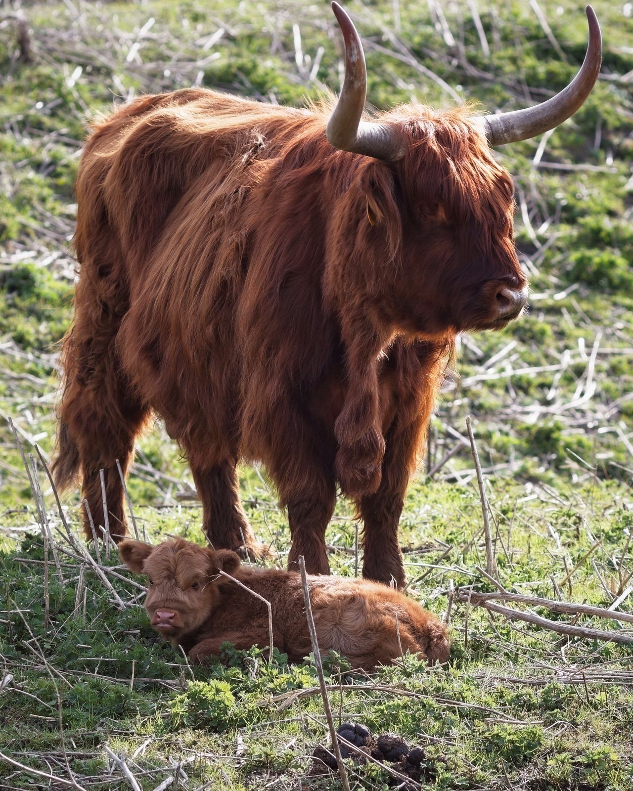 Newly Born Highland Cattle Animals In The Wild Spring 2017 Domestic Animals Animal Themes Highland Cattle Mammal Horned Livestock No People Brown Grass Full Length Outdoors Standing Nature Day Close-up
