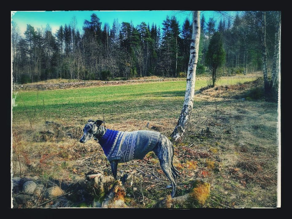 Whippet Animal Themes One Animal Day Outdoors Pets Nature Tree Grass Domestic Animals Sky