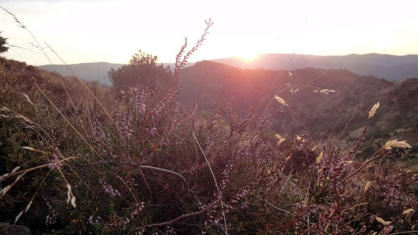 Close-up Detail France Growing Growth L'Estréchure Lavender Lavenderflower Lavendermountain Light Majestic Mountains Nature No People Outdoors Plant Sunset