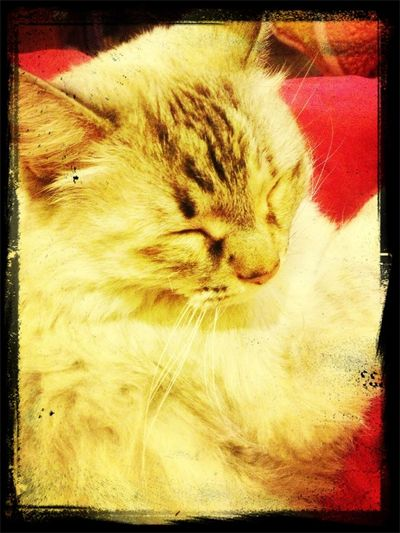Mi Chula Sleeping #catsofinstagram