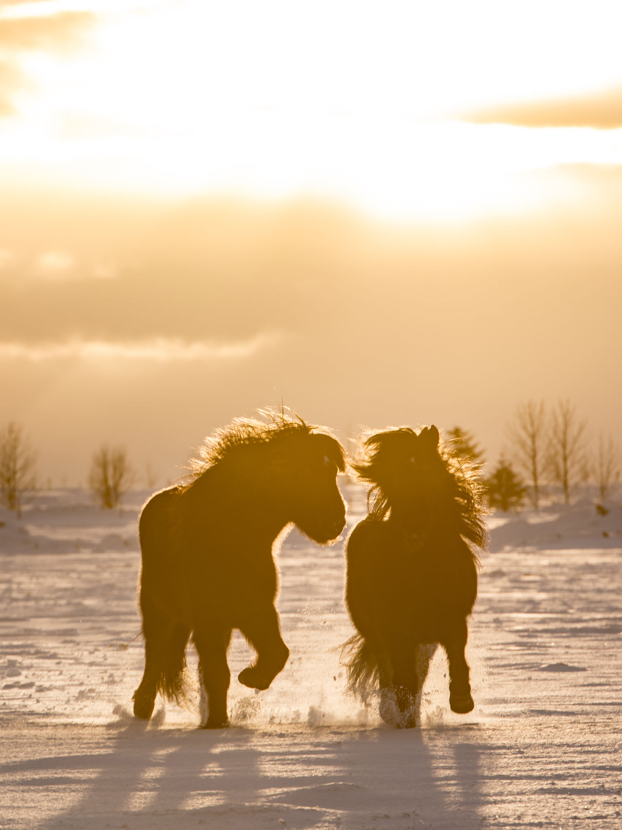 Running through the deep snow, together. Animal Copy Space Horses Iceland Mammal Nature No People Orange Outdoors Running Scandinavia Snow Sunset Winter Yellow