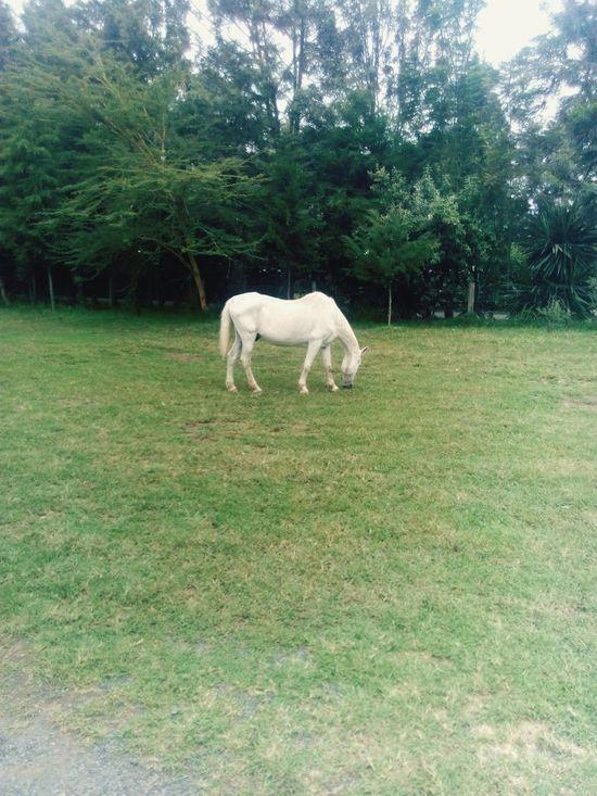 Nature Horse Grass White Pony