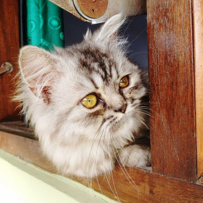 What are you staring at? Pets Feline Whisker Persiancat Close-up Yellow Eyes Persian Cat  Day