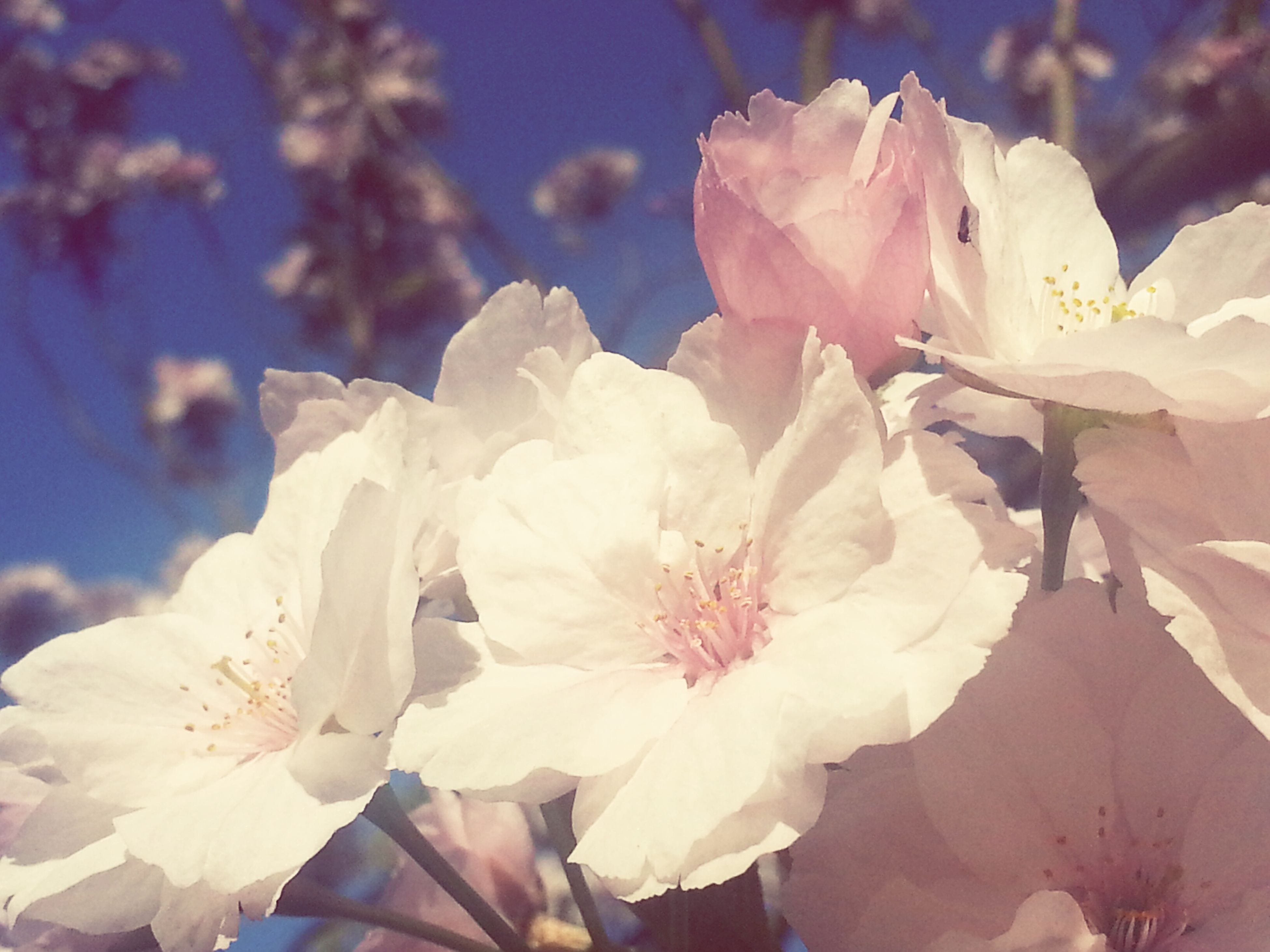 flower, petal, fragility, freshness, flower head, beauty in nature, close-up, growth, blooming, nature, white color, focus on foreground, in bloom, pink color, blossom, outdoors, day, stamen, no people, pollen