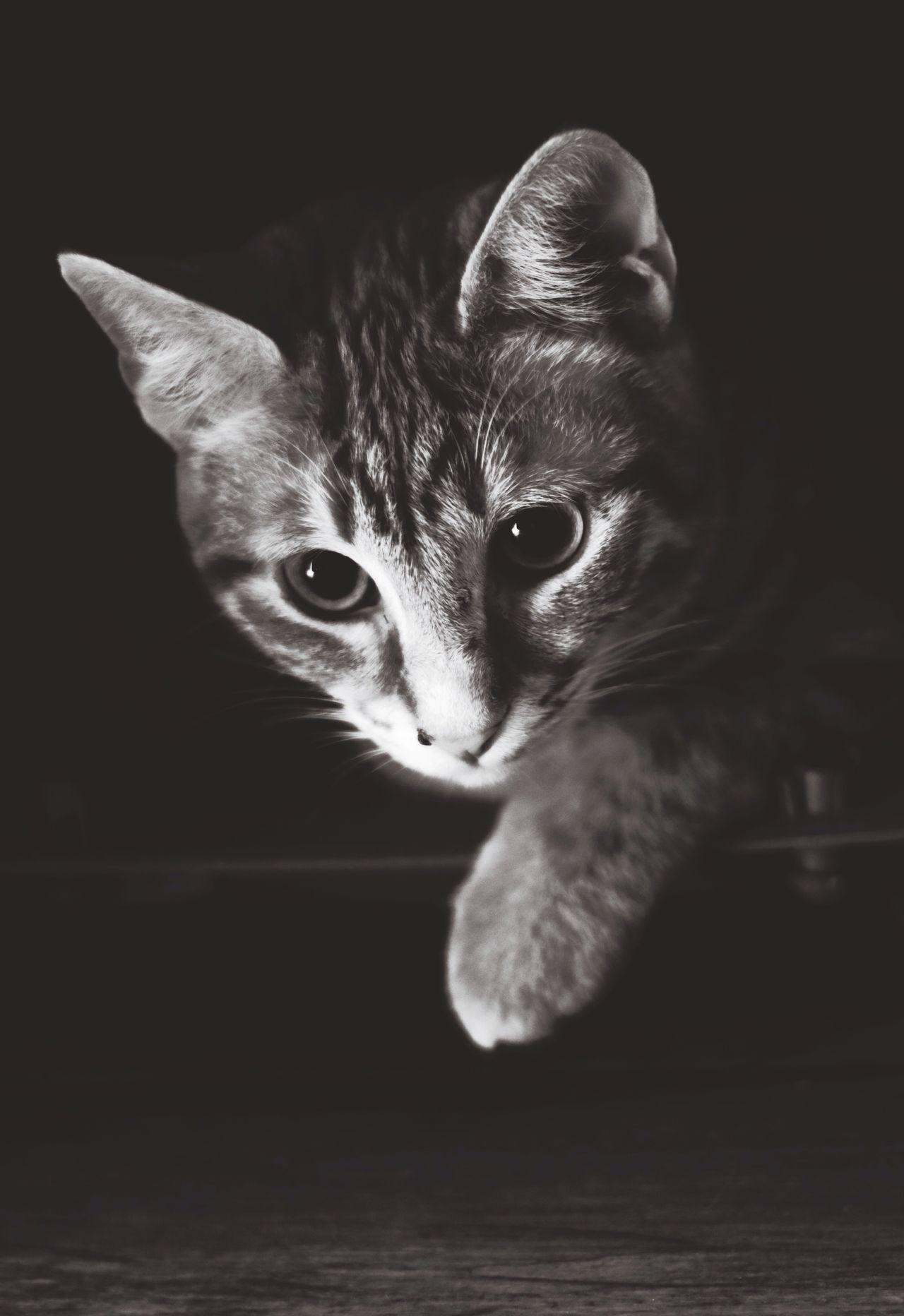 Domestic Cat One Animal Mammal Kitten Feline Meow Purr Kitty Portrait Pets Cat Cats
