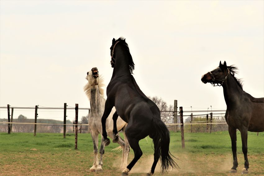 Animal Themes Beauty In Nature Field Fight Fighting Fighting Horses Green Color Horse Horse Life Horse Photography  Horses Horsesofinstagram Outdoors Paard See What I See Trees Walking Around Taking Pictures Weiland Wijnandsrade, Limburg