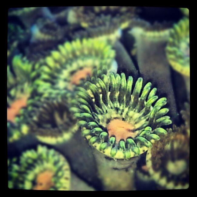 polyp Zoa Zoantid Coral Button polyp reeftank reef saltwater invertebrata instagram