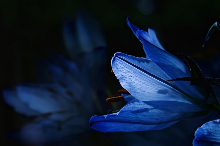 Blue Lilies EyeEmNewHere Light Through Leaves The Week On EyeEm Beauty In Nature Blooming Blue Blue Flowers Close-up Flower Flower Head Fragility Freshness Growth Iris - Plant Light And Shadow Lilies Nature Night No People Outdoors Petal Plant Reflection In The Window Light And Shadows