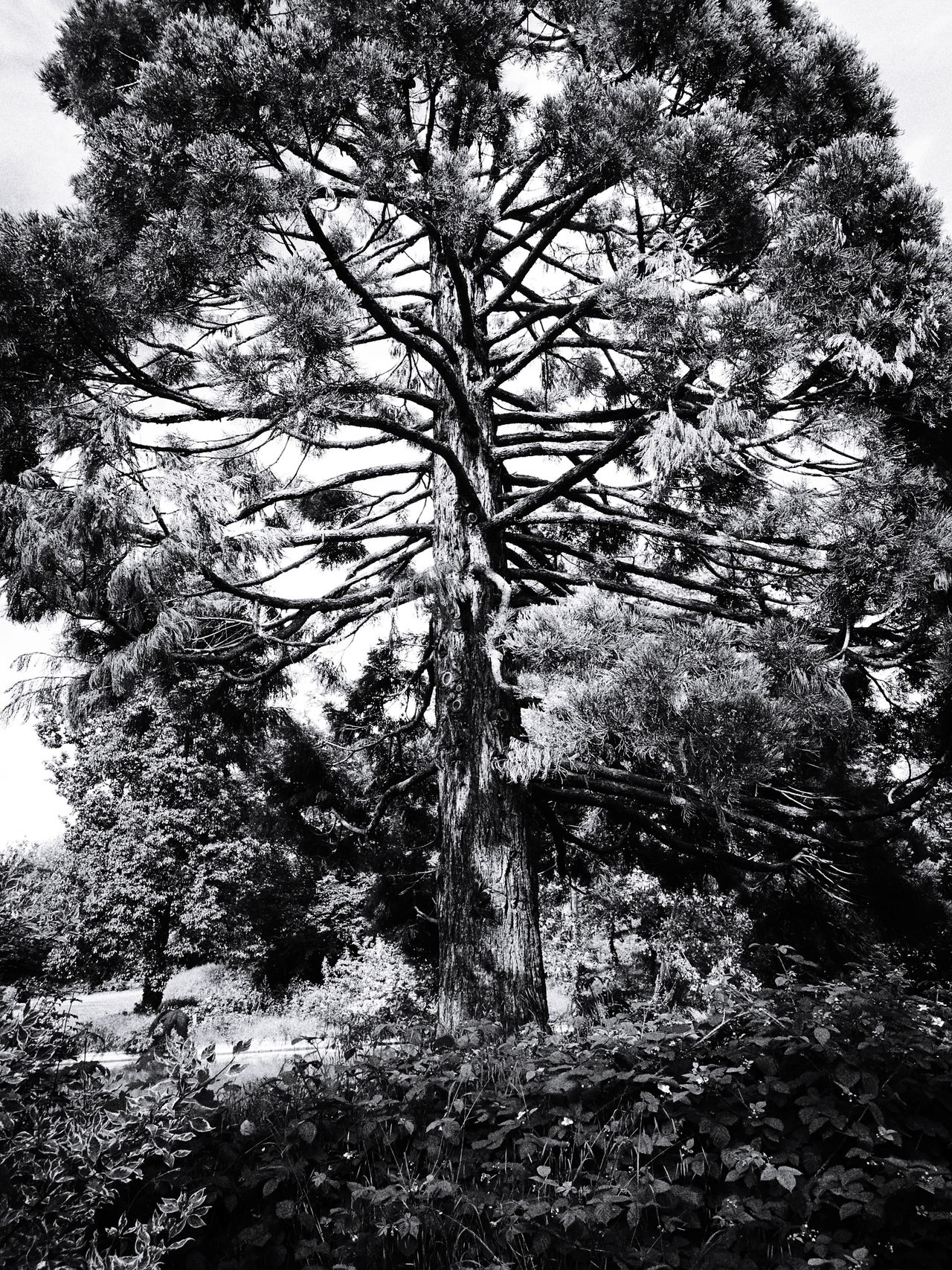 Tree Nature Day Growth No People Low Angle View Outdoors Grass Branch Beauty In Nature Monochrome Photograhy Monochrome Collection Blackandwhite Photography B&W Collection B&WPhoto B&w Photo France🇫🇷 HuaweiP9Photography