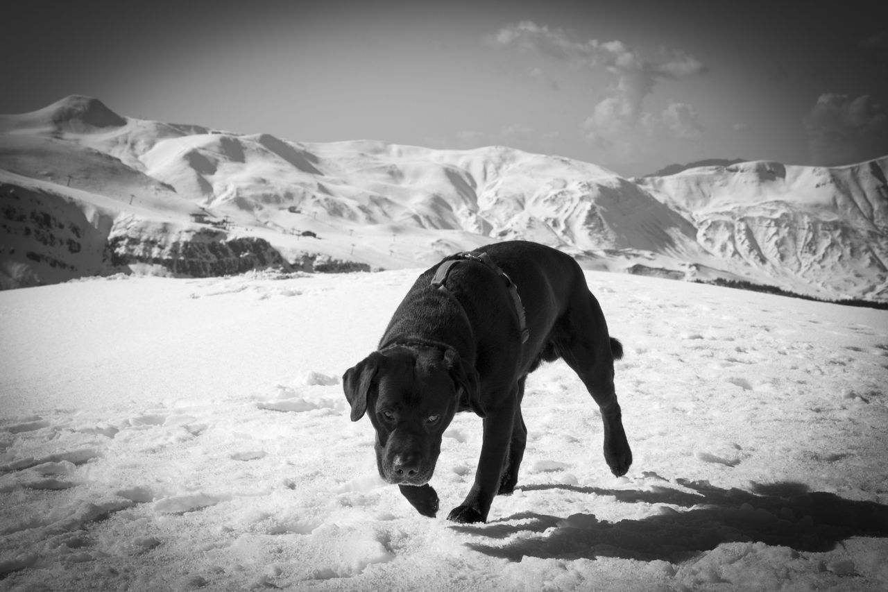 Labrador retriver dog happydog Landscape Day Full Length Nature One Animal Mountain Animal Themes Animals In The Wild Snow Sand Outdoors American Bison No People Sky Mammal