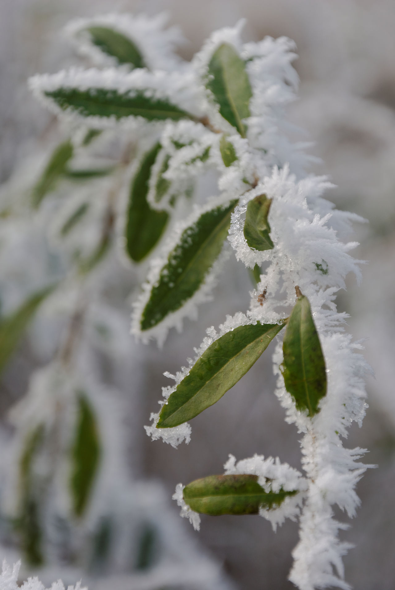 When winter comes to early Autumn Autumn Leaves Beauty In Nature Changing Seasons Close Up Close-up Freezing Frosty Leaves Frosty Mornings Frozen Nature Ice Ice Age Outdoors Stopping Time White Frost Winter Wintertime