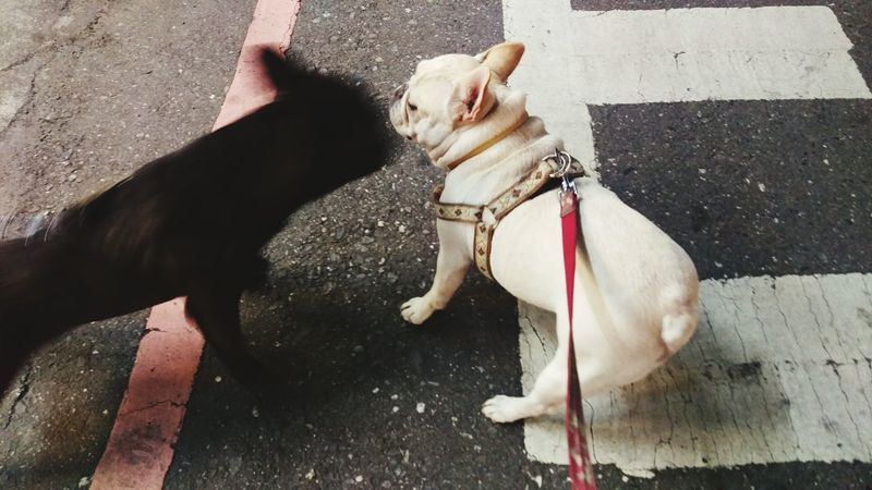 Playing With The Animals Capturing Movement The Moment - 2015 EyeEm Awards The Action Photographer - 2015 EyeEm Awards Pets Corner Black And White Frenchbulldog Bulldog Francese Dog The Photojournalist - 2015 EyeEm Awards