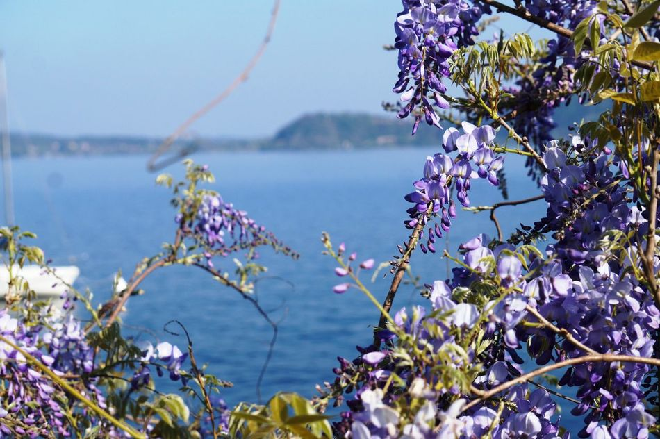 Beauty In Nature Flower Glicine Lake Maggiore Nature Outdoors Purlpe Violet Violet Flowers Wisteria Wisteria Flower