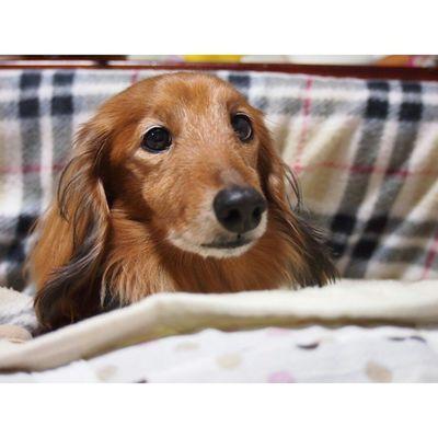 先週撮ったレオ キメ顔🐶笑。 ・ 素敵な夢がみられますように✩ おやすみなさい✩✩ ・ いぬ 犬 わんこ Ig_dogs dog_instagram ダックスフンド ミニチュアダックスフンドminiaturedachshunddoganimals_cuts れお