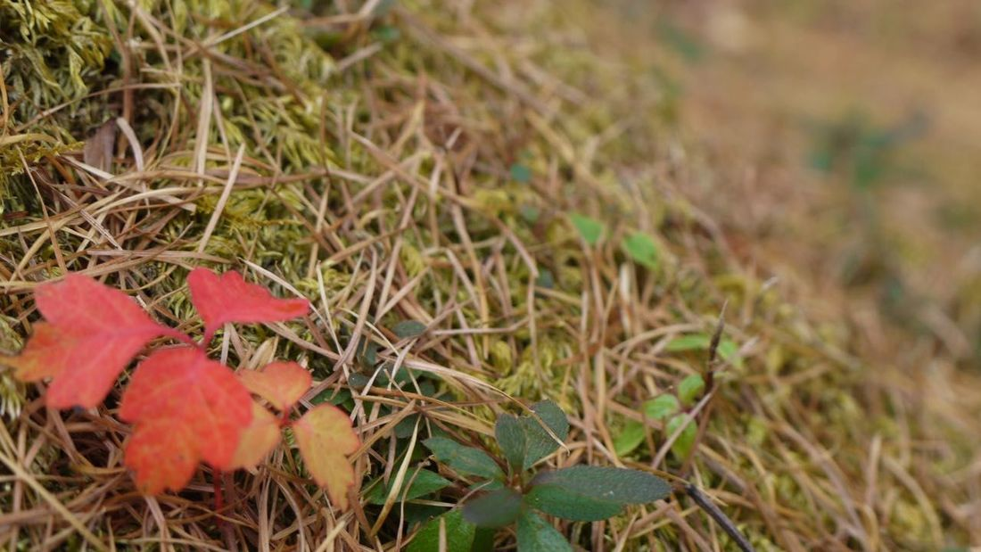 Autumn Beauty In Nature Botany Change Close-up Day Field Focus On Foreground Fragility Grass Green Green Color Growth Leaf Leaves Messy Natural Condition Nature Non-urban Scene Outdoors Red Season  Selective Focus Tranquility Vibrant Color