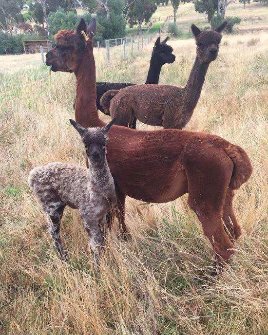 Cria Alpacas Grass Field Herd Landscape Animal Themes Alpaca Farm Haylilla Alpacas Family
