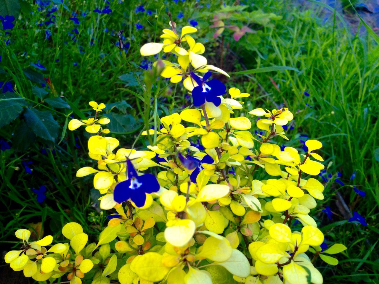 flower, yellow, petal, fragility, growth, beauty in nature, freshness, nature, plant, flower head, purple, blooming, outdoors, pansy, day, field, blue, no people, grass, close-up, crocus